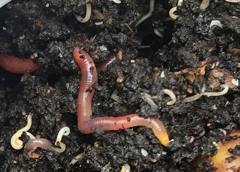 blomkruksmask-daggmask-i-kompost.jpg