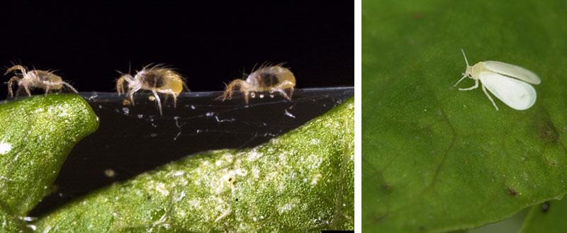 Biologisk bekämpning av spinn, bladlöss och vita flygare