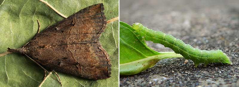 Larv och fjäril på humleblad av puckligt näbbfly