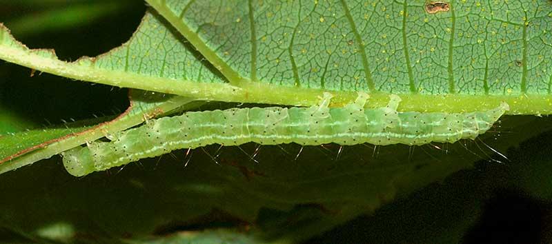 larv-puckligt-nabbfly-humle.jpg