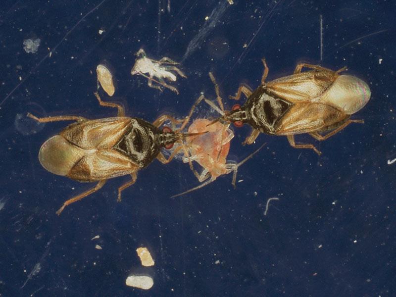 Orius skinnbaggar som bekämpar bladlöss
