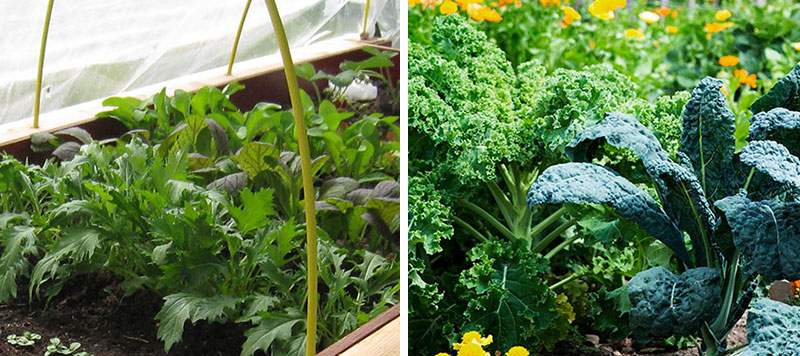 Odling av småblad mizuna, grönkål och svartkål