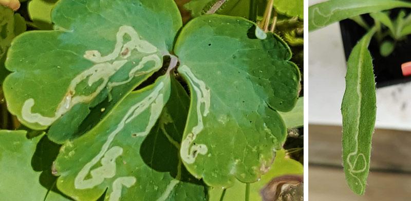 minerarfluga-akvileja-blaklint.jpg
