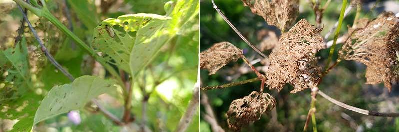 angrepp-av-larv-olvonbagge.jpg