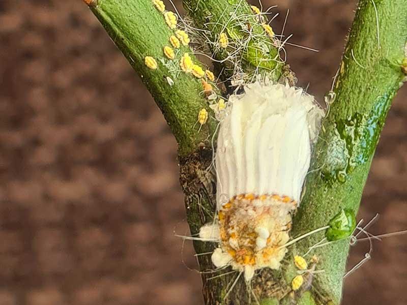 Pärlsköldlus, sköldlus, som vuxen med nymfer