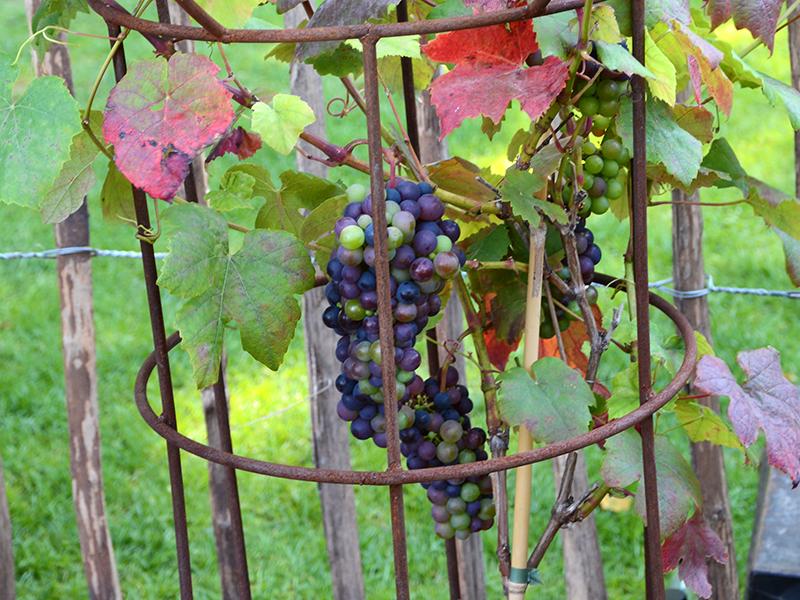 Övervintra vin i kruka