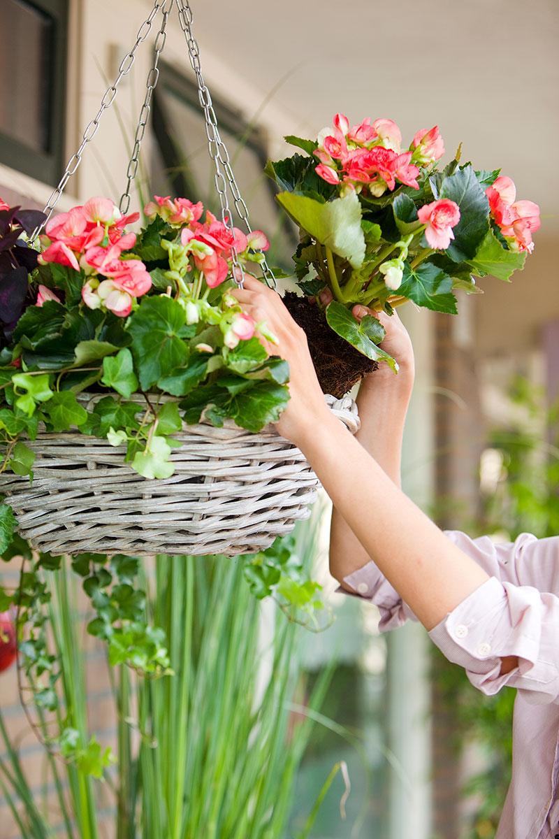 plantering-av-begonia-i-ampel-pa-balkong.jpg