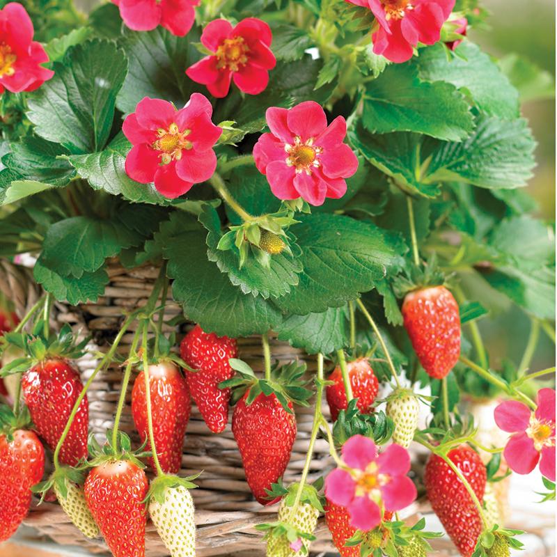 Tristan jordgubbe som blommar om