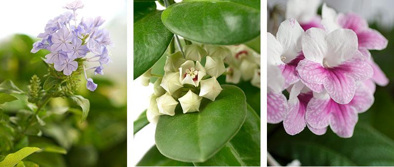 Krukväxter för växtvägg i ljust läge blå blyblomma porslinsblomma Streptocarpus