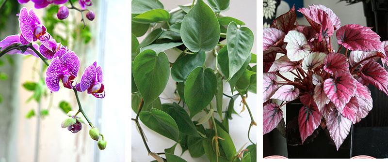 Krukväxter för ljust läge brudorkidé klätterkalla och rexbegonia