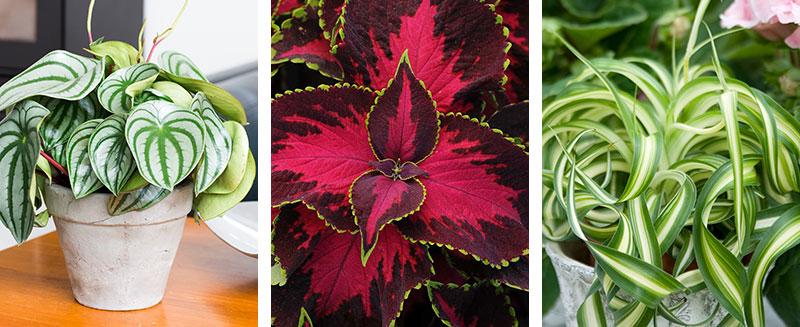Krukväxter för skugga peperomia palettblad och ampellilja
