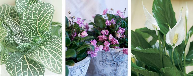 Krukväxter för skuggigt läge åderblad saintpaulia fredskalla