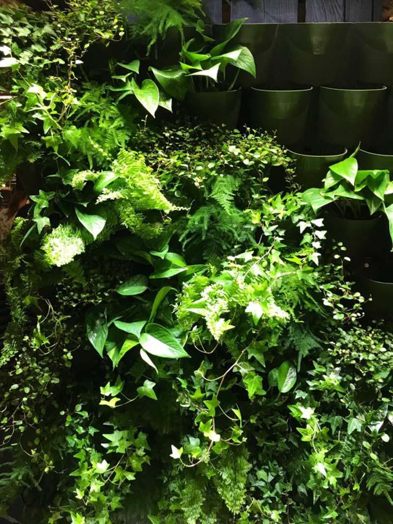 Växtvägg wonderwall med skuggtålig krukväxter murgröna, gullrankan och venushår
