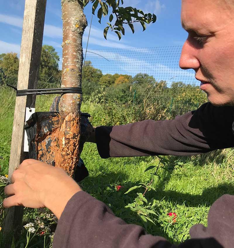 Lagning av bark på träd som fått gnagskador