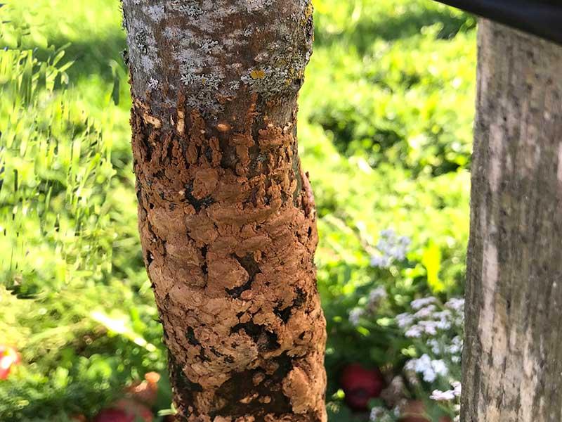 Läkning av gnagskada på bark hos fruktträd