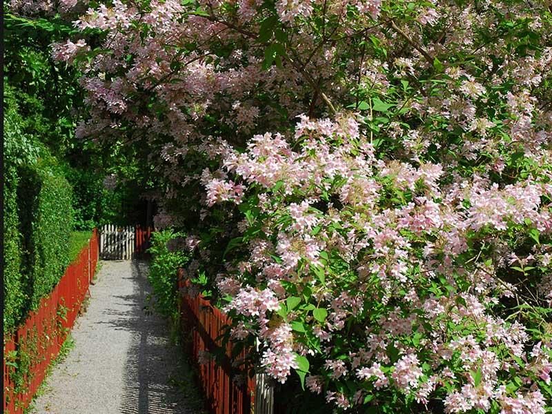 Prydnadsbuske som inte blommar