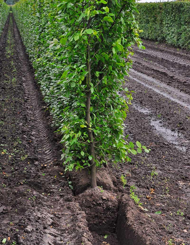 Bokhäck som växer i plantskolan