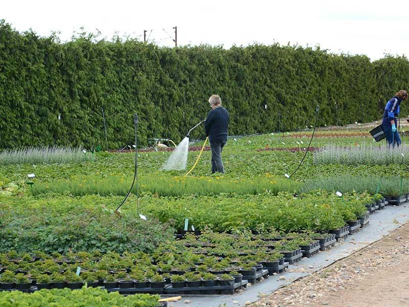 Plantskola med odling av perenner