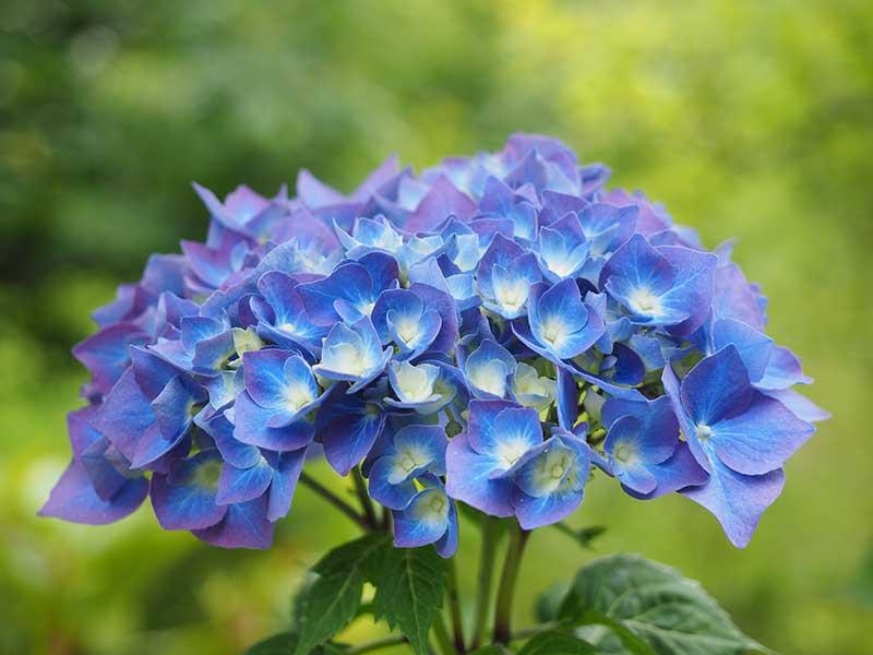 Blå hortensia av aluminium i jorden