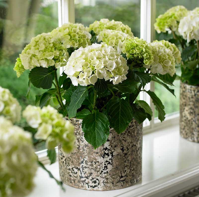 Hortensia inomhus på fönsterbräda som krukväxt