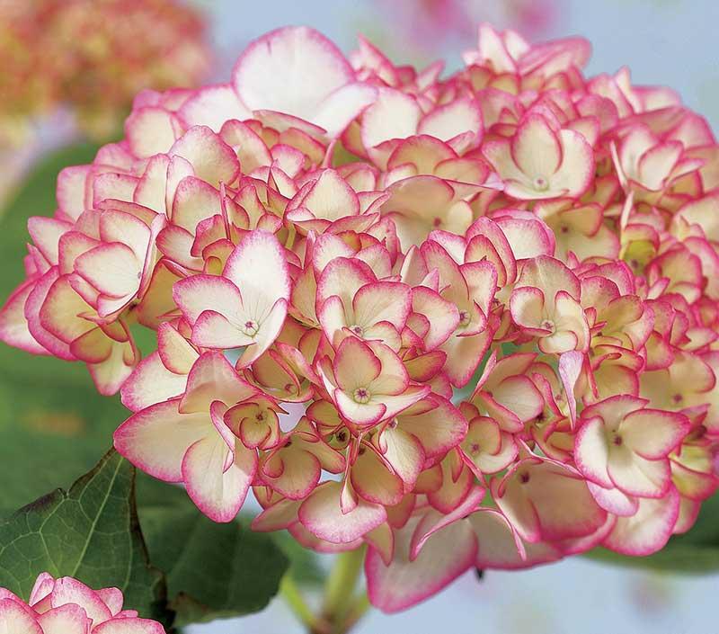Tvåfärgad hortensia i kruka