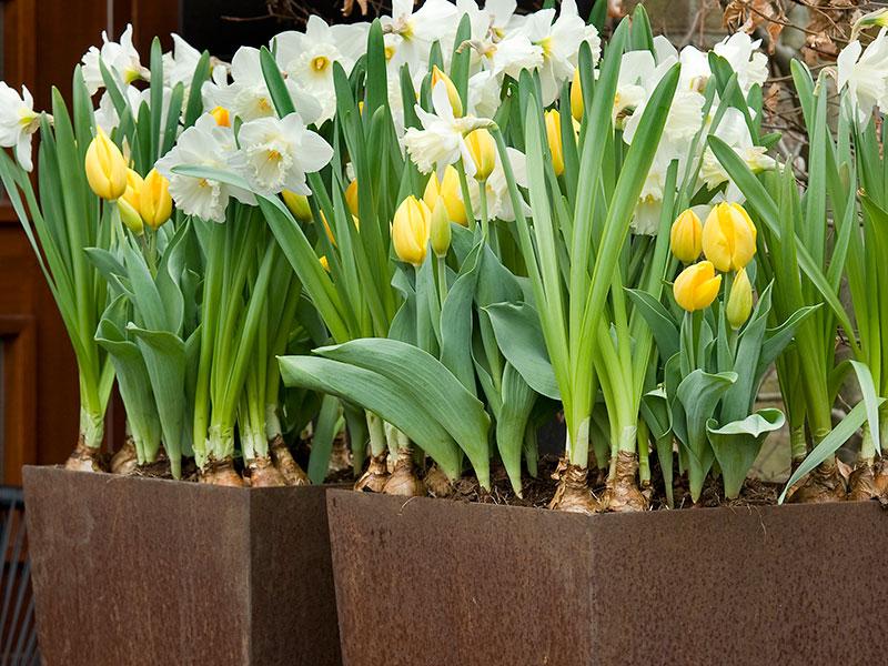 Tulpaner och narciss i kruka av cortenstål
