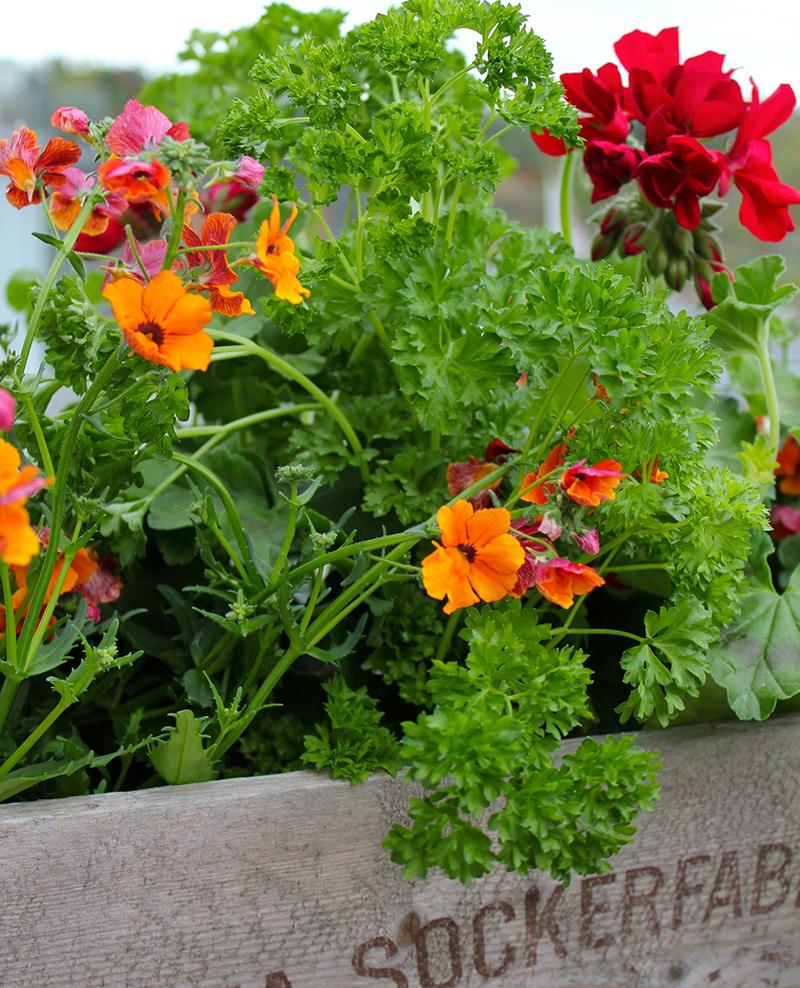 Persilja och blommor i balkonglåda