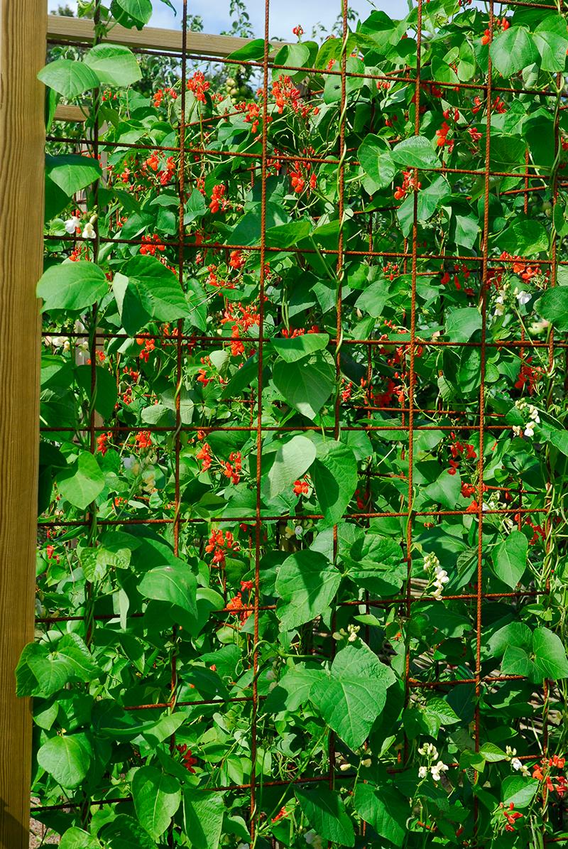 Rosenböna som klättrar på balkongen