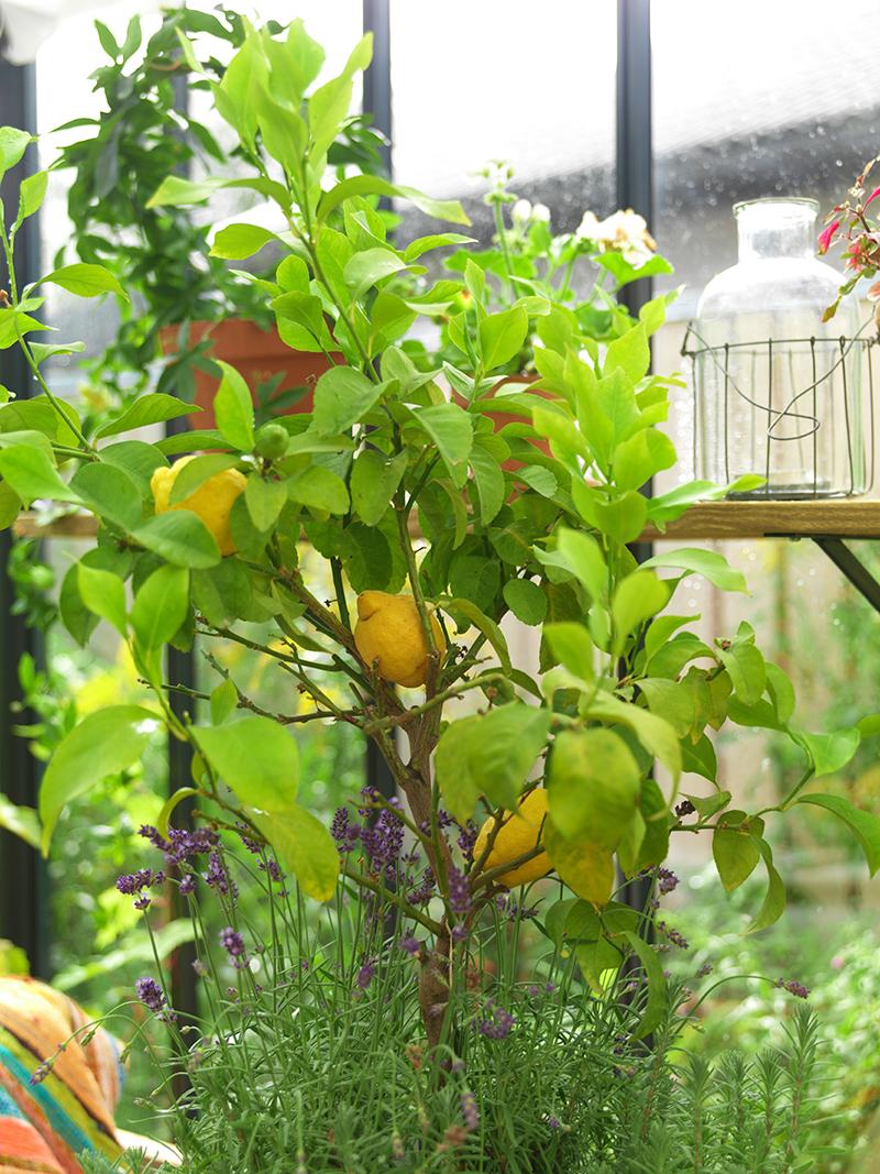 Citronträd på inglasad balkong