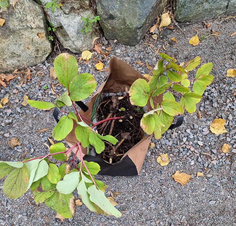 pionrötter till sidenpion