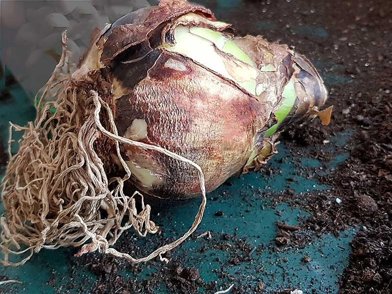Amaryllislök med torra rötter