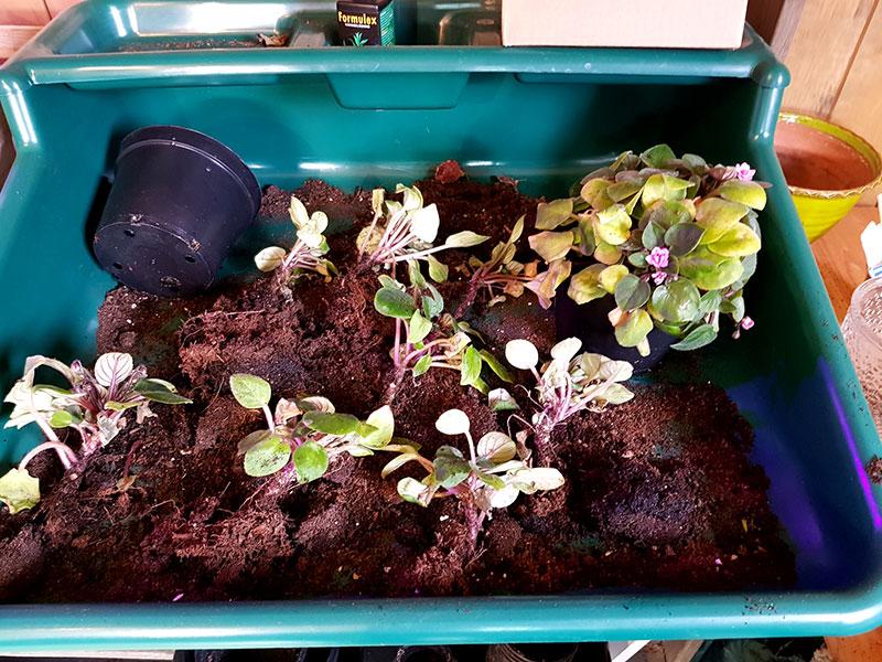 Planteringsbricka fylld med små satintpauliaplantor