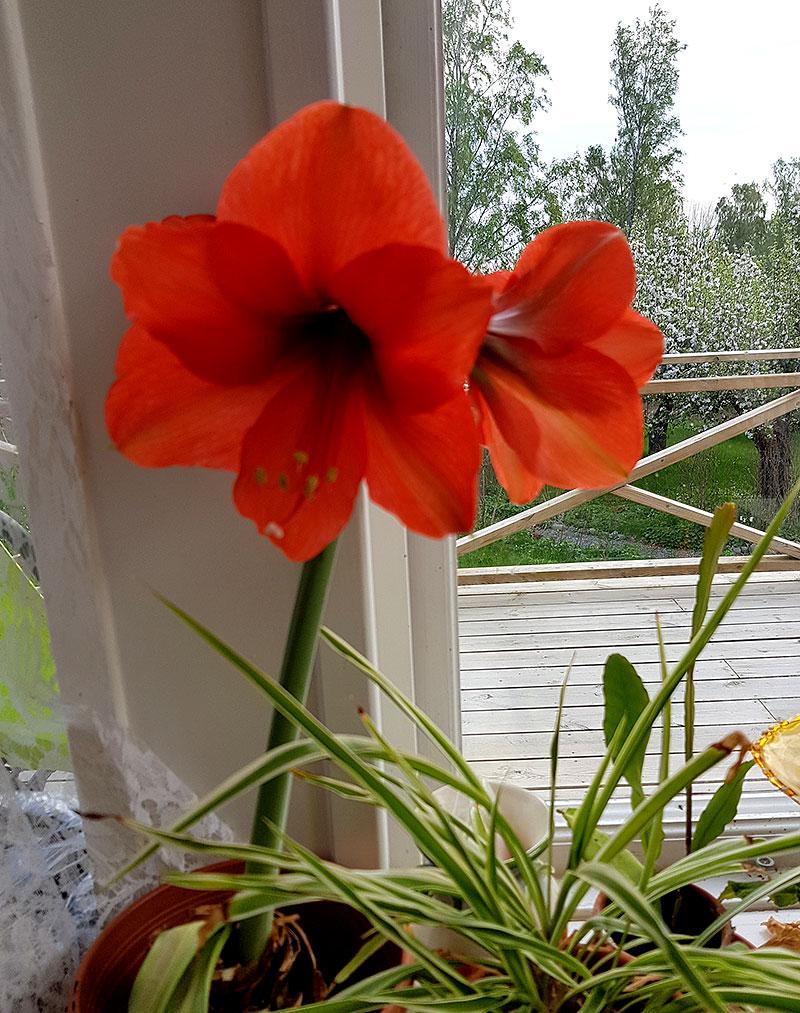 Majblommande amaryllis