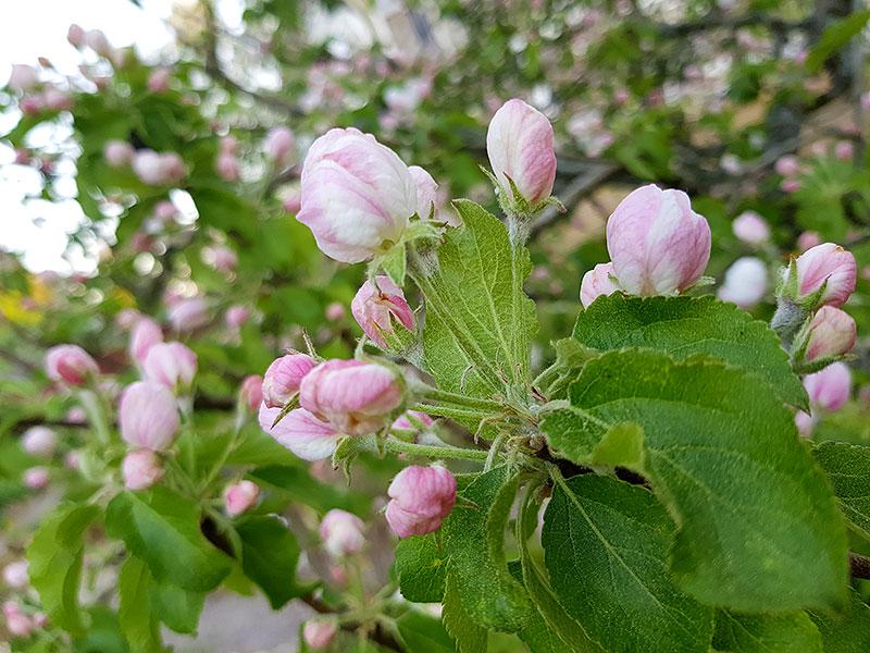 Äppelträd med blomknoppar i rosa
