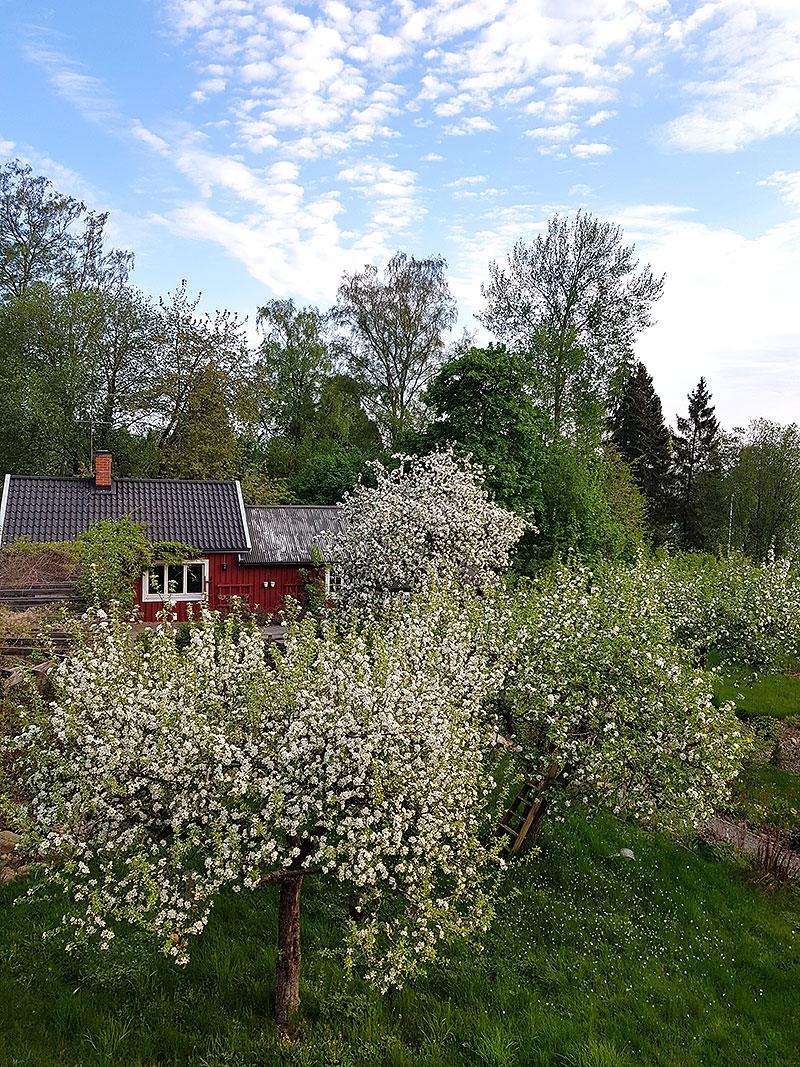 Morgonvy över blommande äppelträd i trädgården