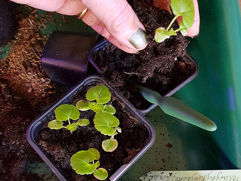 Omskolning av små frösådda pelargonplantor