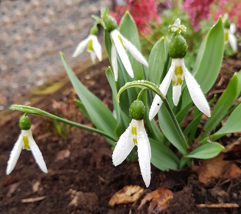 Snödroppar med långa, smala kronblad och breda blad