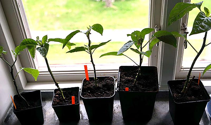 Chiliplantor med löss i karantän