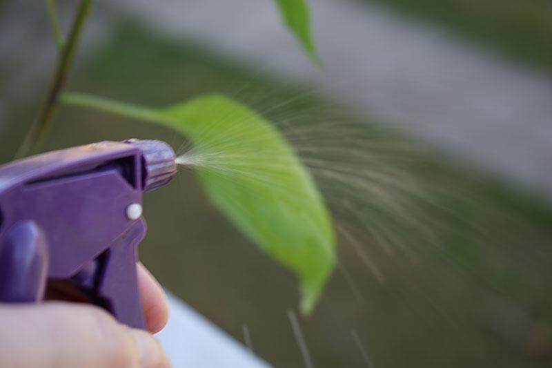 Spray med växtsåpa mot bladlöss på chili