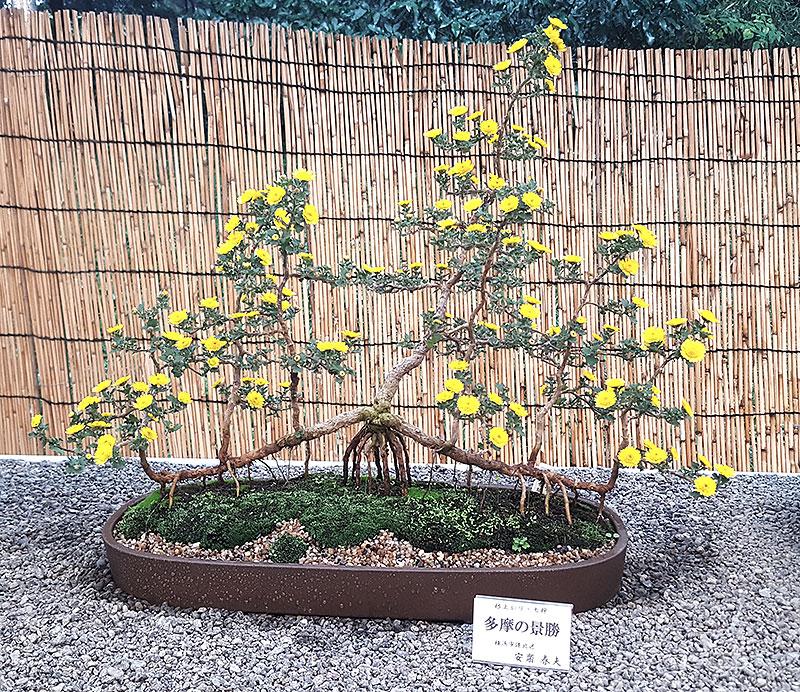 Bonsai av krussantemum med många rötter