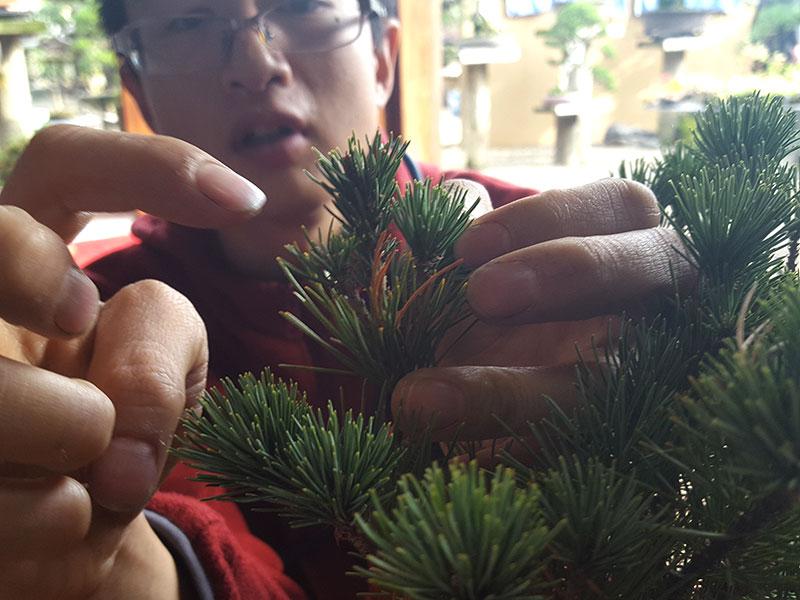 Toppskott på bonsai
