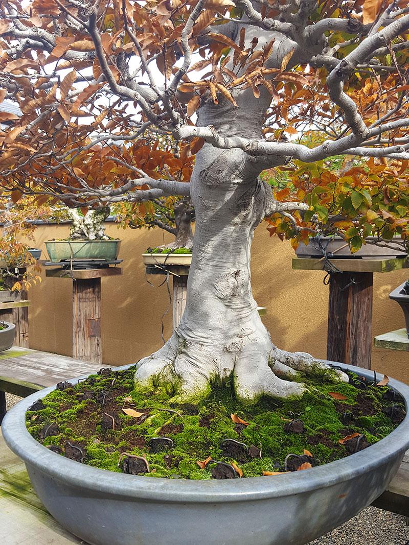 Bonsai med kraftig stam