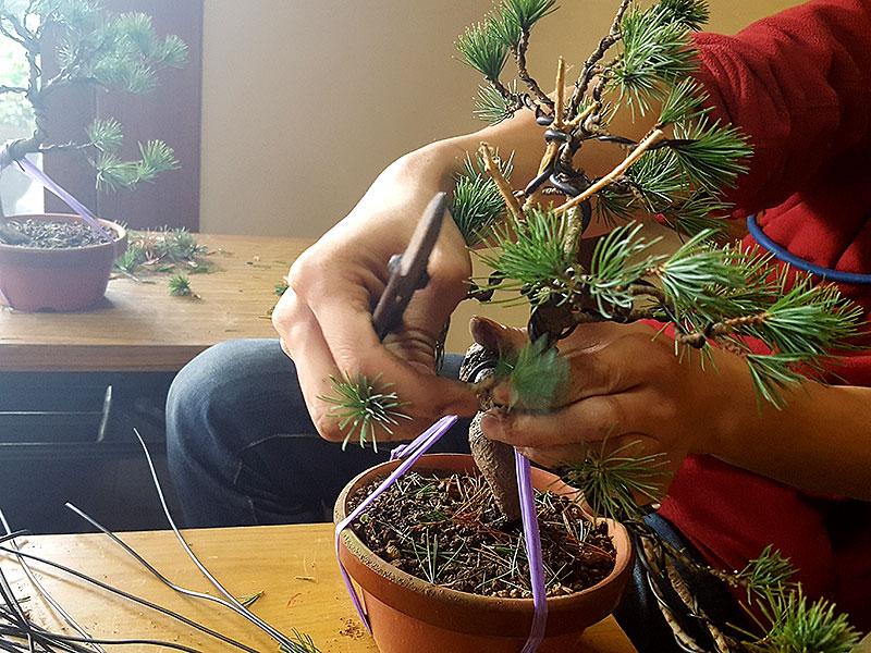 så här gör man en bonsai