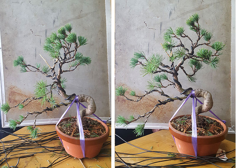 Färdigtrådad bonsaital