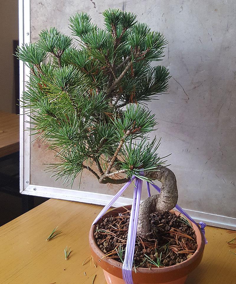 Grundmaterial till bonsai
