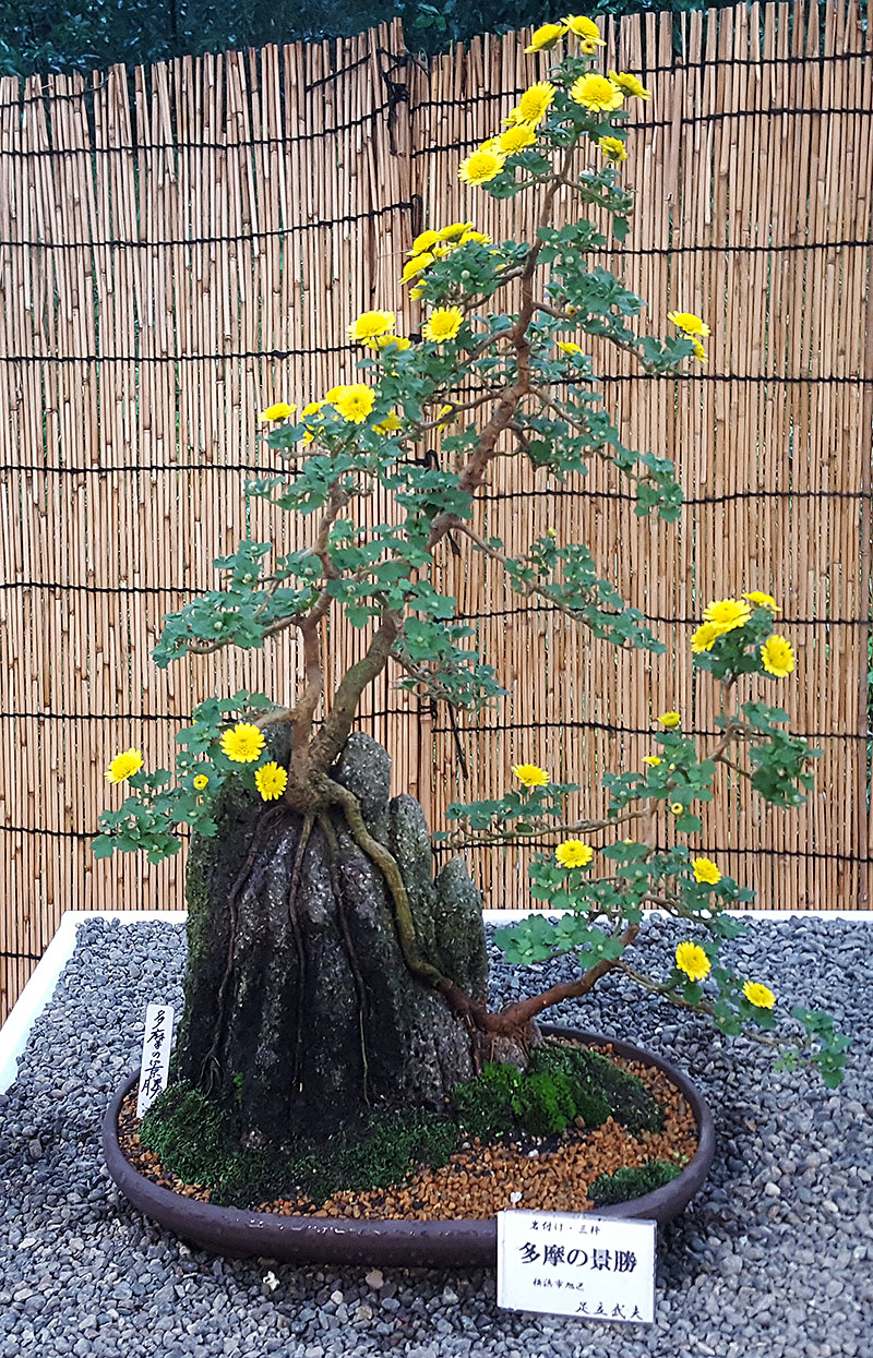 Bonsai av kryssantemum
