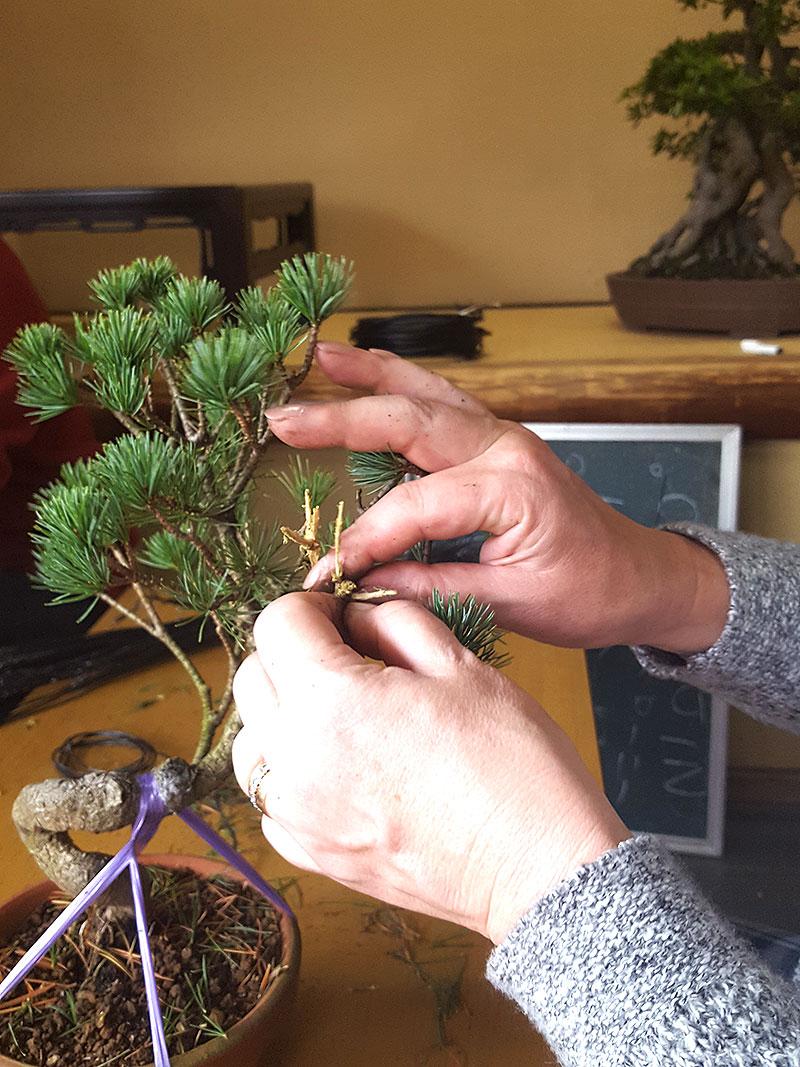 Rensa bark från bonsai