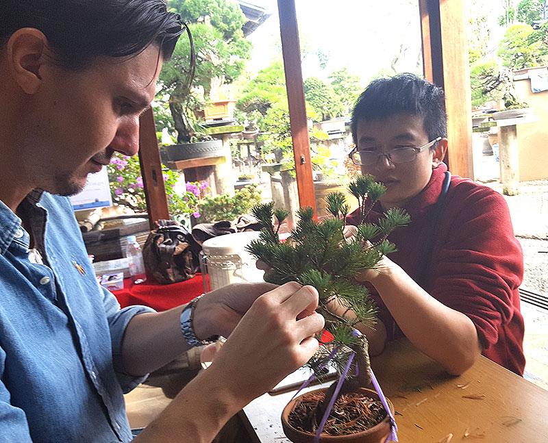 rensa barr på bonsai
