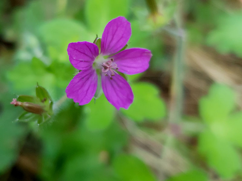 Geranium yoshinoi, med ceriserosa blommor