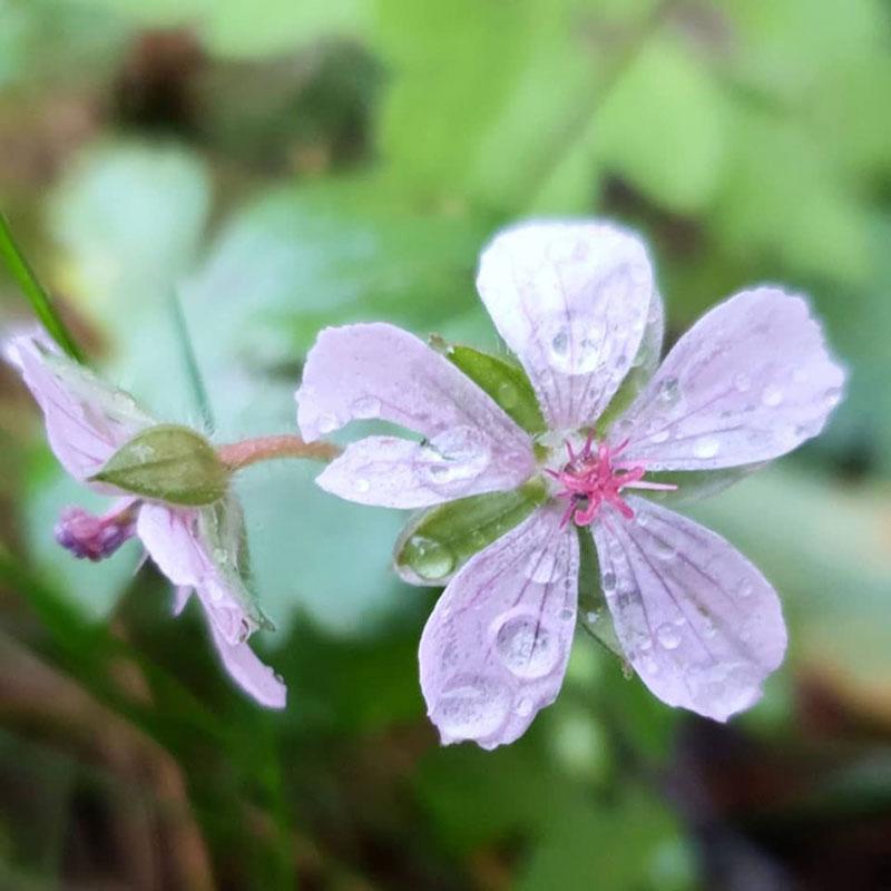 Geranium yoshinoi med vita blommor